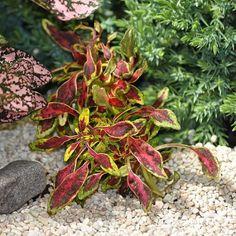 Miniature Fairy Garden Coleus, Tiny Toes, Coleus Fairy Garden Plants, Garden Terrarium, Fairy Garden Houses, Gnome Garden, Terrariums, Miniature Plants, Miniature Fairy Gardens, Winter Greenhouse, Ground Cover Plants