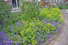 Voor collectieve tuin 'De Omscholing' is gekozen voor makkelijke planten met veel kleur. Lavendel, Nepeta (kattenkruid) en Alchemilla mollis (vrouwenmantel)  Ontwerp Tuinatelier Herman & Vermeulen.