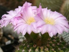 Acanthocalycium spiniflorum is usually solitary or slowly branching through basal shoots, it can become an upright cactus with stems up to...