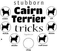 Stubborn Cairn Terrier