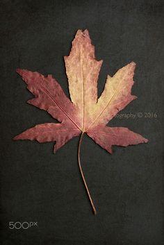 Last year's Autumn. - Last year's Autumn leaf.