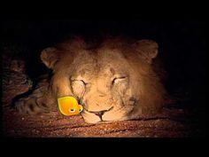 جوجو و ريحانة حديقة المرح بيضة سبونج بوب دورا و سلاحف النينجا و الدمى المضحكة Youtube Animals Lion
