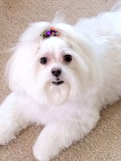 Lilly...prettiest girl in the world #maltese #puppy #dog