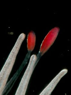 Deep sea predator creates red light zone