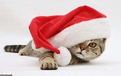 Google Image Result for http://www.warrenphotographic.co.uk/photography/bigs/10376-Tabby-cat-in-Santa-hat-white-background.jpg