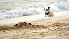 Jack Russell terrier in mid-air