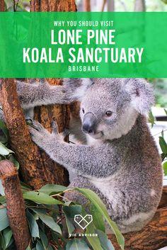 Visiting Brisbane? Make sure you don't miss the Lone Pine Koala Sanctuary!