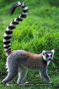 Ring-tailed lemur, endangered