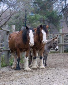 work horses and donkey