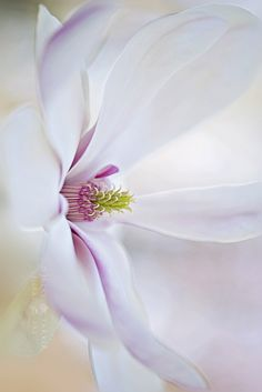 By Jacky Parker . Exotic Flowers, Beautiful Flowers, Soft Colors, Colours, Dark Pictures, Photography Flowers, Flower Quotes, Magnolias, Abstract Flowers