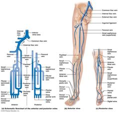 The Cardiovascular System: Blood Vessels of the leg / lower extremity Vascular Ultrasound, Medical Laboratory Science, Human Anatomy And Physiology, Medical Anatomy, Muscle Anatomy, Medical Information, Med School, Neurology, Blood Vessels
