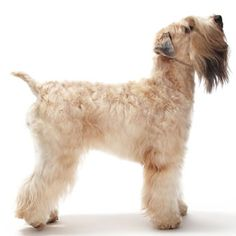 Soft Coated Wheaten Terrier - Medium Dog Breed | Dog Fancy