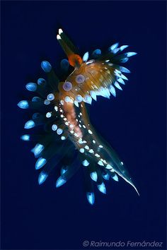 Janolus cristatus by Rai Fernandez, via Flickr