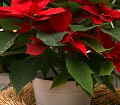 _x000D_ Μετά τις γιορτές, αφού μαζέψατε τα χριστουγεννιάτικα στολίδια σας, έμεινε κάτι να σας θυμίζει τις γιορτές. Το χριστολούλουδό σας (ή κοινώς Home And Garden, Green, Flowers, Christmas, Paradise, Gardening, Decor, House, Plants