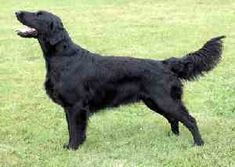 Best Dogs for Kids - 16 dog breeds to check out Dog Breeds List, Best Dog Breeds, Low Energy Dogs, Best Dogs For Kids, Dog Skull, Choosing A Dog, Flat Coated Retriever, Border Terrier, White Terrier