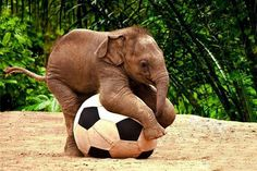 Elephants want to play soccer too!