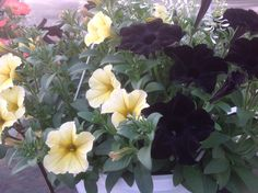 Petunia Ray Black, Supercal yellow, With dainty Diamond Frost Euphorbia Hanging Baskets, Petunias, Black N Yellow, Frost, Diamond, Plants, Fall Hanging Baskets, Diamonds, Planters