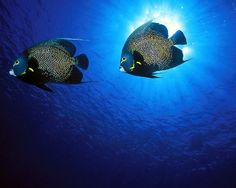 French Angelfish....  You're unlikely to ever find a French angelfish alone — these creatures live, travel and even hunt in pairs. The fish form monogamous bonds that often last as long as both individuals are alive. In fact, they act as a team tovigorouslydefend their territory against neighboring pairs.