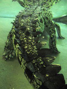 crocodile or water dragon? You decide.   by lunatiquegirl on Flickr.