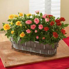Mini Rose Garden Gift | Rose Gifts Delivered | Harry & David
