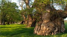 Heritage trees of Great Britain and Ireland   ... News - In pictures: Archie Miles puts Wales's heritage trees in frame