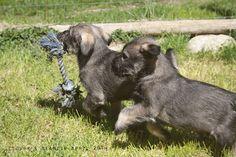 7 week old schnauzer pups