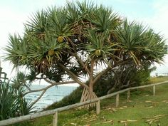 Pandanus Pandanus tectorius Forms part of the distinctive character of Sunshine Coast headlands and dunes. The sculptured shape of the trunk and greenish grey strap leaves of the pandanus are a dramatic statement in coastal gardens and natural foreshores. Australia Photos, Australia Travel, Florida Flowers, Tropical Beach Houses, Florida Gardening, Coastal Gardens, Yard Landscaping, Landscaping Ideas, Tropical Plants