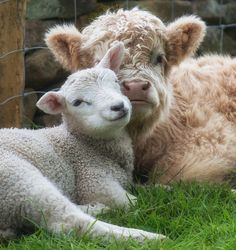 Larry the Lamb and Buddy the Calf are best friends, In fact, they wouldn't have it any other way.