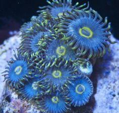 Pastel Baby Blue Zoanthids, from MyReefToYours