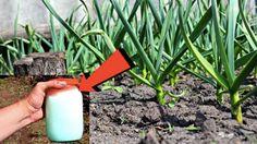 Vypěstujte si ten nejsilnější česnek. Užitečné rady jak správně postupovat při pěstování česneku.   iRecept.cz Garden Trowel, Garden Tools, Teen, Youtube, Sun, Plant, Yard Tools, Youtubers, Youtube Movies