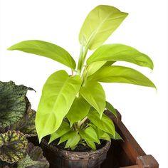 Philodendron 'Lemon Lime' (Philodendron hybrid) - Indestructible Houseplants - Indestructible