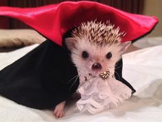 This Dracula hedgehog. | 42 Pictures That Will Make You Almost Too Happy
