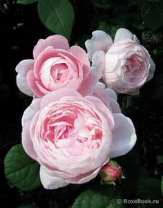 'Queen of Sweden' english rose