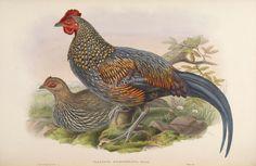Sonnerat's Jungle-fowl   ...