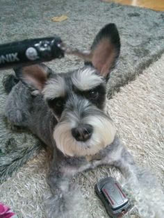 New   A community of Schnauzer lovers!