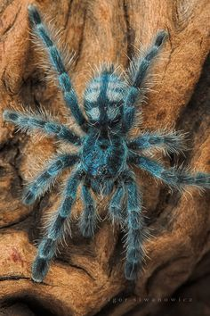"Avicularia Metallica (pinktoe) ~ A relatively docile species of Tarantula. ~ Miks' Pics ""Arachnids and  Insects l"" board @ http://www.pinterest.com/msmgish/arachnids-and-insects-l/"