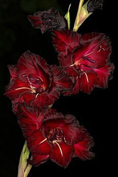 Multi-Color Gladiolus Flower(Not Gladiolus Bulbs), Germination, DIY Aerobic Potted, Rare Gladiolus Bonsai Pcs All Flowers, Exotic Flowers, My Flower, Flower Power, Beautiful Flowers, Birth Flower, Gladiolus Bulbs, Gladiolus Flower, Dream Garden