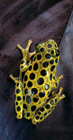 Hyperolius viridiflavus