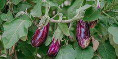 🍆 Η μελιτζάνα είναι το αγαπημένο μου καλοκαιρινό λαχανικό! Καθώς είναι ευαίσθητη στις χαμηλές θερμοκρασίες, την φυτεύουμε από τα μέσα της άνοιξης και μετά. Συμβουλές για να απολαύσουμε γλυκές και νόστιμες μελιτζάνες. Eggplant Varieties, Eggplant Seeds, Growing Eggplant, Purple Fruit, Growing Lettuce, Green Soap, Pinterest Garden, Vegetable Garden Design, Garden Images