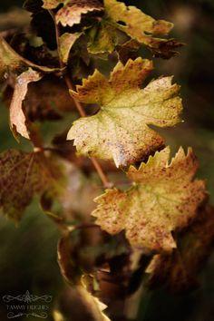 *Grapevine in Autumn