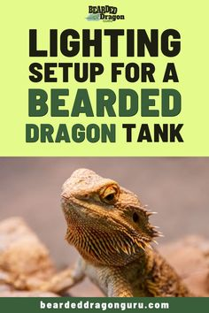 A bearded dragon requires a specific lighting setup for its long term health, knowing which lamps are best has just been made easier with this top guide. Bearded Dragon Tank Setup, Bearded Dragon Heat Lamp, Bearded Dragon Substrate, Bearded Dragon Lighting, Bearded Dragon Care Sheet, Bearded Dragon Food, Bearded Dragon Enclosure, Bearded Dragon Terrarium, Bearded Dragon Habitat