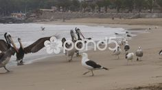 Seagulls and Pelicans eating on the shore of the beach - Stock Footage | by BucleFilms