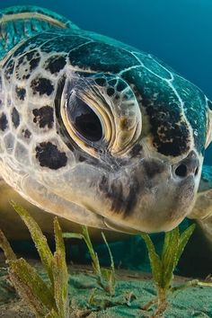 Turtle Photo Gallery - Sea turtle close-up! -Sea Turtle Photo Gallery - Sea turtle close-up! Beautiful Sea Creatures, Animals Beautiful, Cute Animals, Animals Sea, Forest Animals, Baby Animals, Sea Turtle Art, Turtle Love, Ocean Turtle