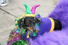 Mardi Gras Cartoon Dog | Categories: Funny Animals , Funny Compilations
