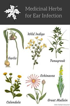 natural holistic remedies herbs for ear infections - Information on the Health Properties, Dosage, Benefits and Side Effects of Medicinal Herbs Used as Herbal Remedies for Ear Infections Holistic Remedies, Natural Health Remedies, Herbal Remedies, Acne Remedies, Cough Remedies, Healing Herbs, Medicinal Plants, Herbal Plants, Natural Medicine