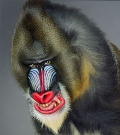 Jill Greenberg collected 76 images of monkeys shot in her studio for her book Monkey Portraits