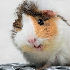 Guinea pigs....a domesticated, tailless South American cavy....a herd animal that needs a companion to be happy....live about five years....need chewing toys for their growing teeth....likes to be held for short periods of time