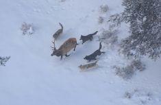 Wolves Hunting Elk