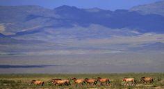 Przewalski horses in Mongolia