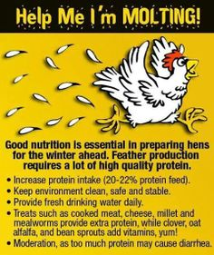 Molting - Why adding mealworms to your chicken's diets is important, especially during molts Chicken Life, Chicken Feed, Chicken Runs, Chicken Coops, City Chicken, Chicken Facts, Chicken Barn, Chicken Treats, Chicken Houses